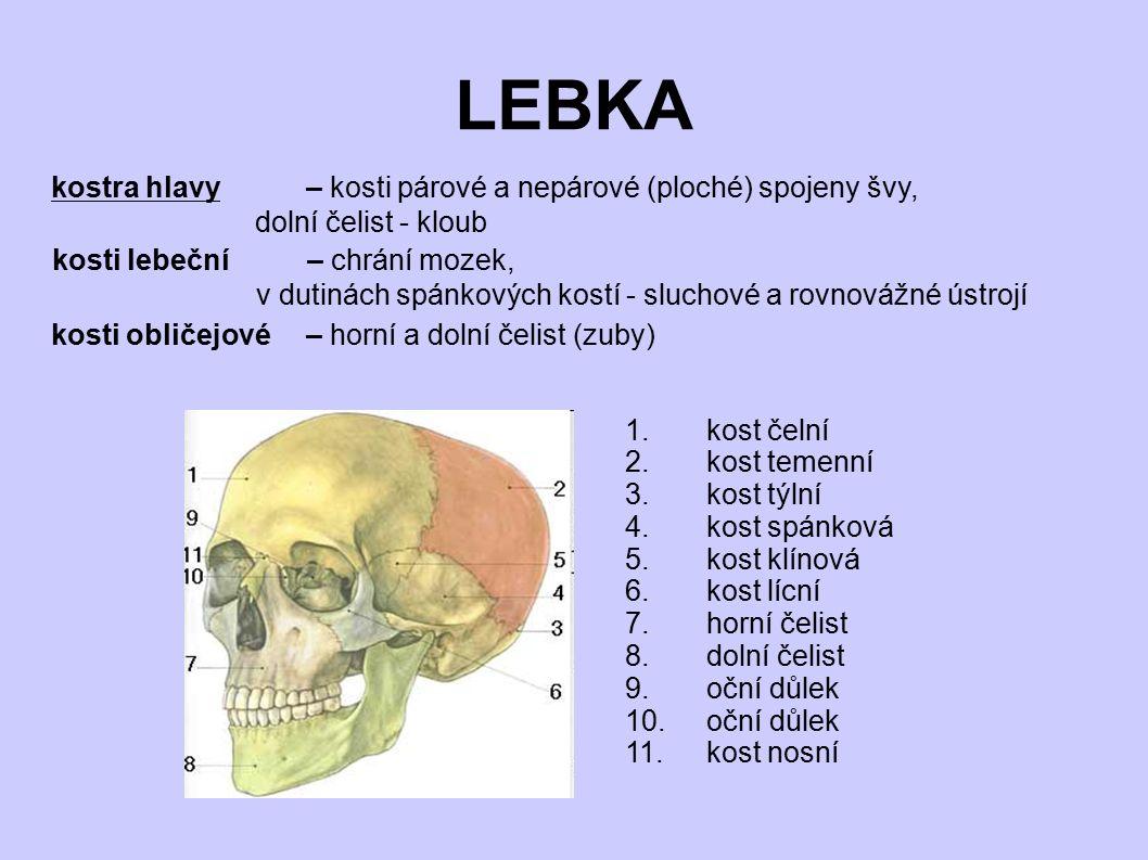 LEBKA 1.kost čelní 2.kost temenní 3.kost týlní 4.kost spánková 5.kost klínová 6.kost lícní 7.horní čelist 8.dolní čelist 9.oční důlek 10.oční důlek 11