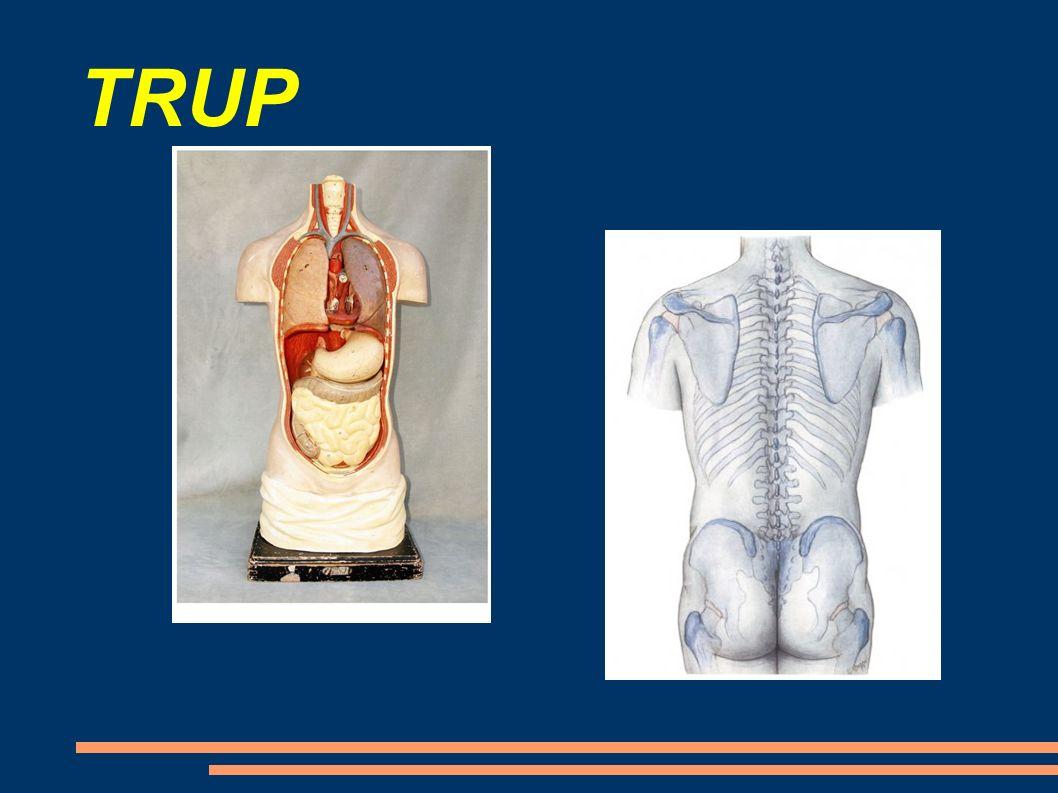 V trupu jsou uschovány další důležité orgány: SRDCE PLÍCE ŽALUDEK STŘEVA LEDVINYJÁTRA