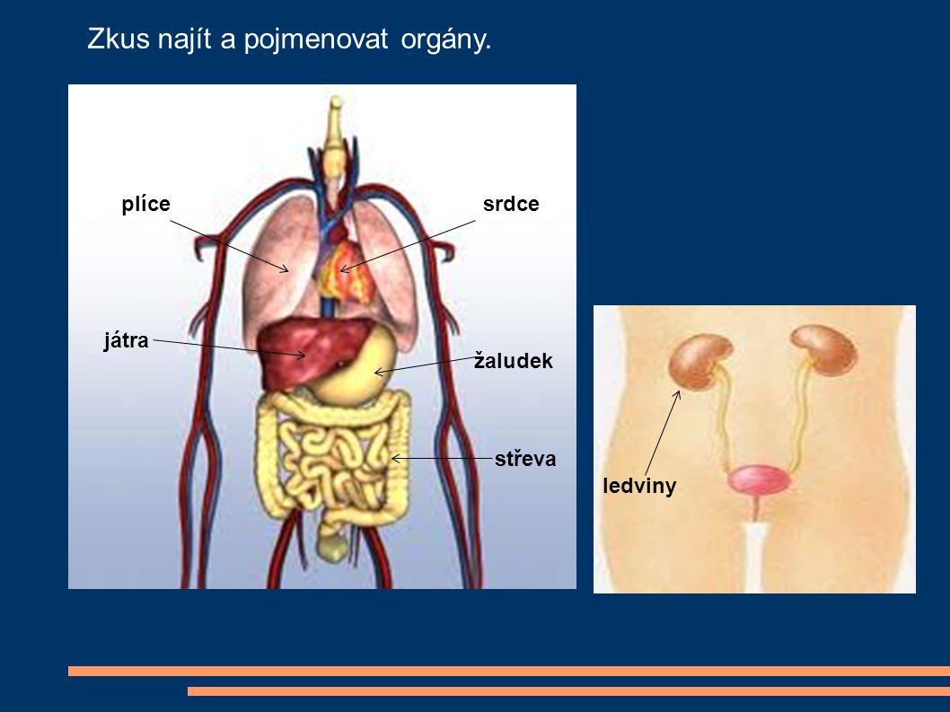 plícesrdce játra žaludek střeva ledviny Zkus najít a pojmenovat orgány.
