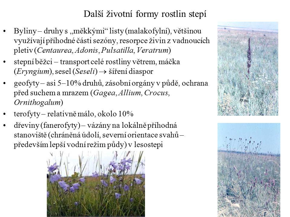 """Další životní formy rostlin stepí Byliny – druhy s """"měkkými listy (malakofylní), většinou využívají příhodné části sezóny, resorpce živin z vadnoucích pletiv (Centaurea, Adonis, Pulsatilla, Veratrum) stepní běžci – transport celé rostliny větrem, máčka (Eryngium), sesel (Seseli)  šíření diaspor geofyty – asi 5–10% druhů, zásobní orgány v půdě, ochrana před suchem a mrazem (Gagea, Allium, Crocus, Ornithogalum) terofyty – relativně málo, okolo 10% dřeviny (fanerofyty) – vázány na lokálně příhodná stanoviště (chráněná údolí, severní orientace svahů – především lepší vodní režim půdy) v lesostepi"""