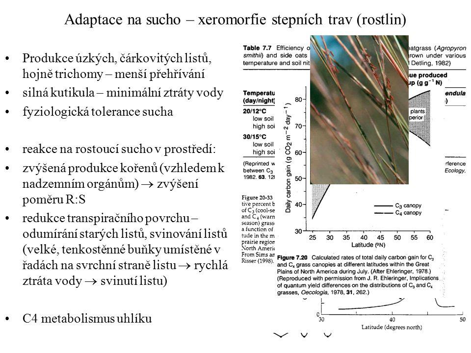 Adaptace na sucho – xeromorfie stepních trav (rostlin) Produkce úzkých, čárkovitých listů, hojně trichomy – menší přehřívání silná kutikula – minimální ztráty vody fyziologická tolerance sucha reakce na rostoucí sucho v prostředí: zvýšená produkce kořenů (vzhledem k nadzemním orgánům)  zvýšení poměru R:S redukce transpiračního povrchu – odumírání starých listů, svinování listů (velké, tenkostěnné buňky umístěné v řadách na svrchní straně listu  rychlá ztráta vody  svinutí listu) C4 metabolismus uhlíku