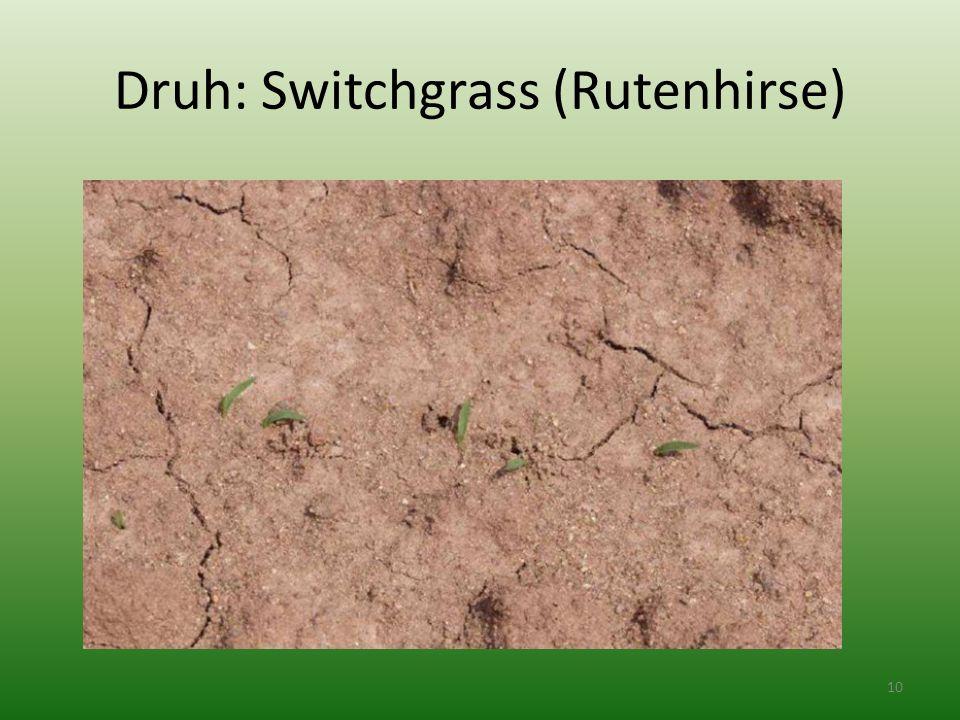 Druh: Switchgrass (Rutenhirse) 10