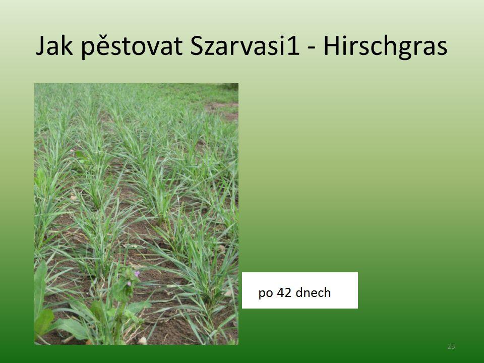 Jak pěstovat Szarvasi1 - Hirschgras 23