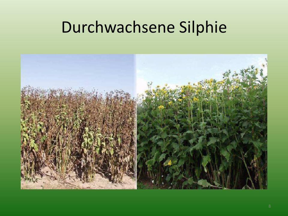 Vlastnosti: pěstování ze sazenic trvalky (15 – 20 let) tetragorální rozsáhlý kořenový systém suchomilná rostlina velmi mrazuvzdorná rostlina vlastnosti stejné, jako kukuřice jedno jaderná 9