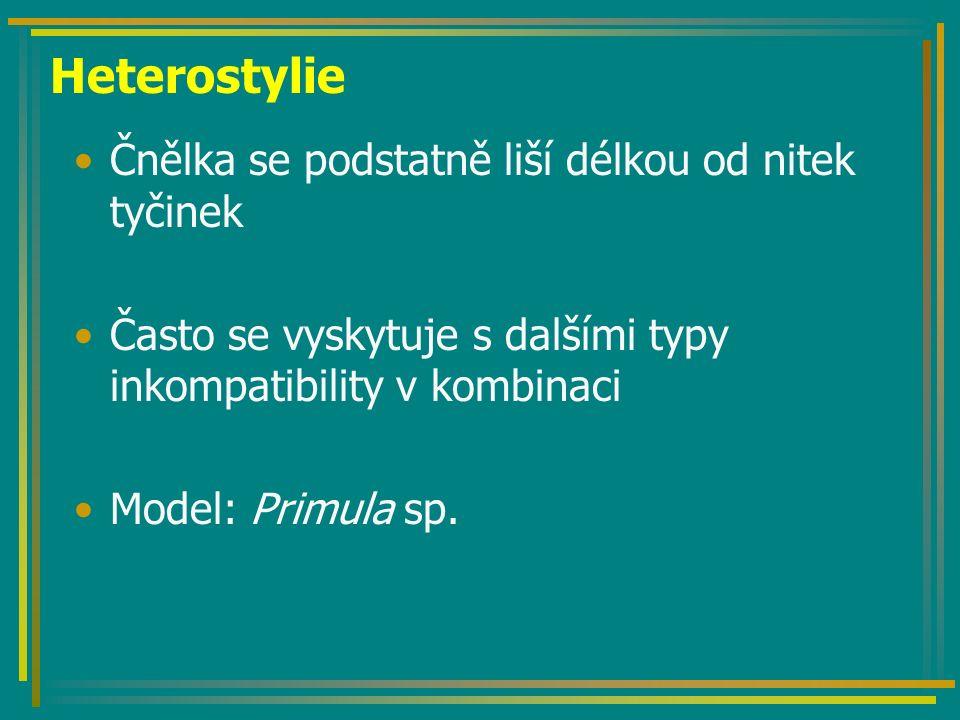 Heterostylie Čnělka se podstatně liší délkou od nitek tyčinek Často se vyskytuje s dalšími typy inkompatibility v kombinaci Model: Primula sp.