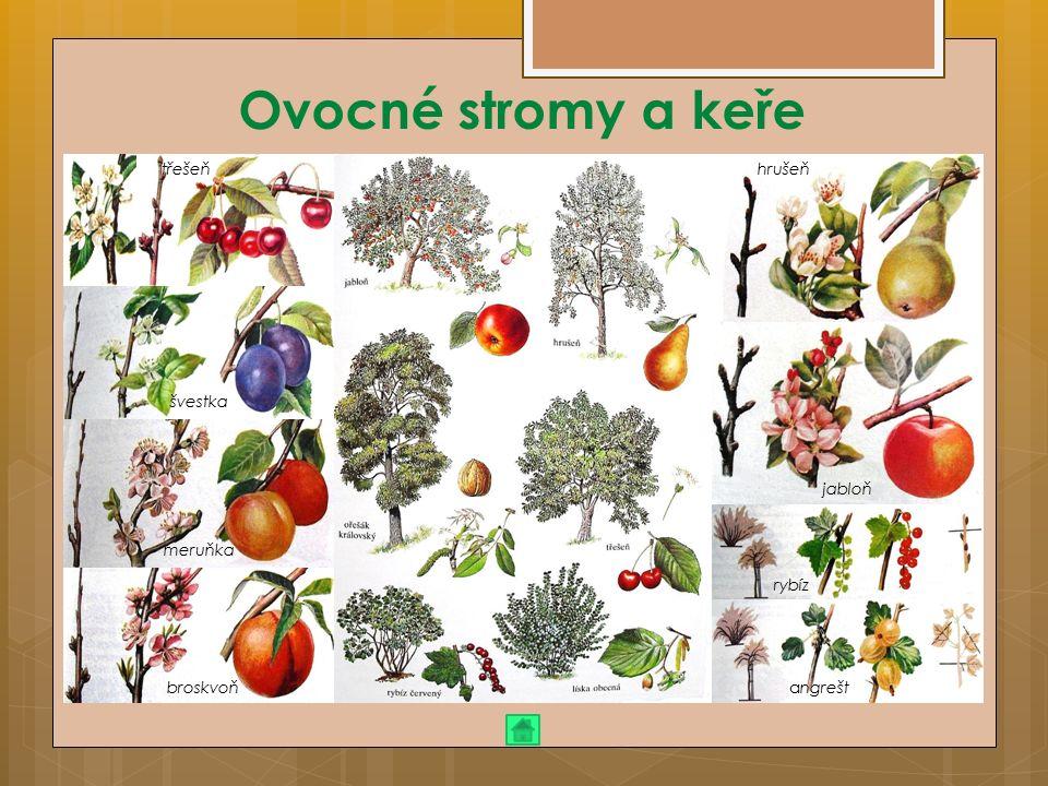 Ovocné stromy a keře třešeň švestka meruňka broskvoň hrušeň jabloň rybíz angrešt