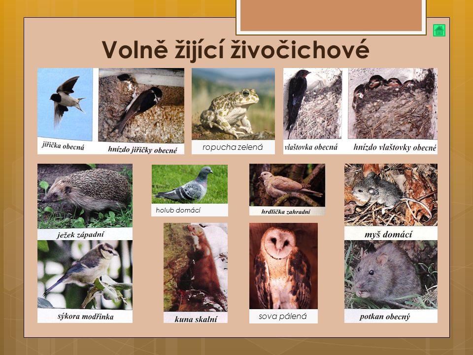 Volně žijící živočichové ropucha zelená sova pálená holub domácí