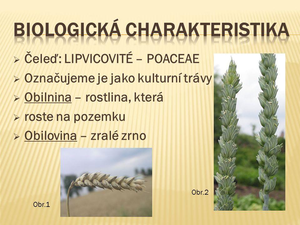  Čeleď: LIPVICOVITÉ – POACEAE  Označujeme je jako kulturní trávy  Obilnina – rostlina, která  roste na pozemku  Obilovina – zralé zrno Obr.1 Obr.