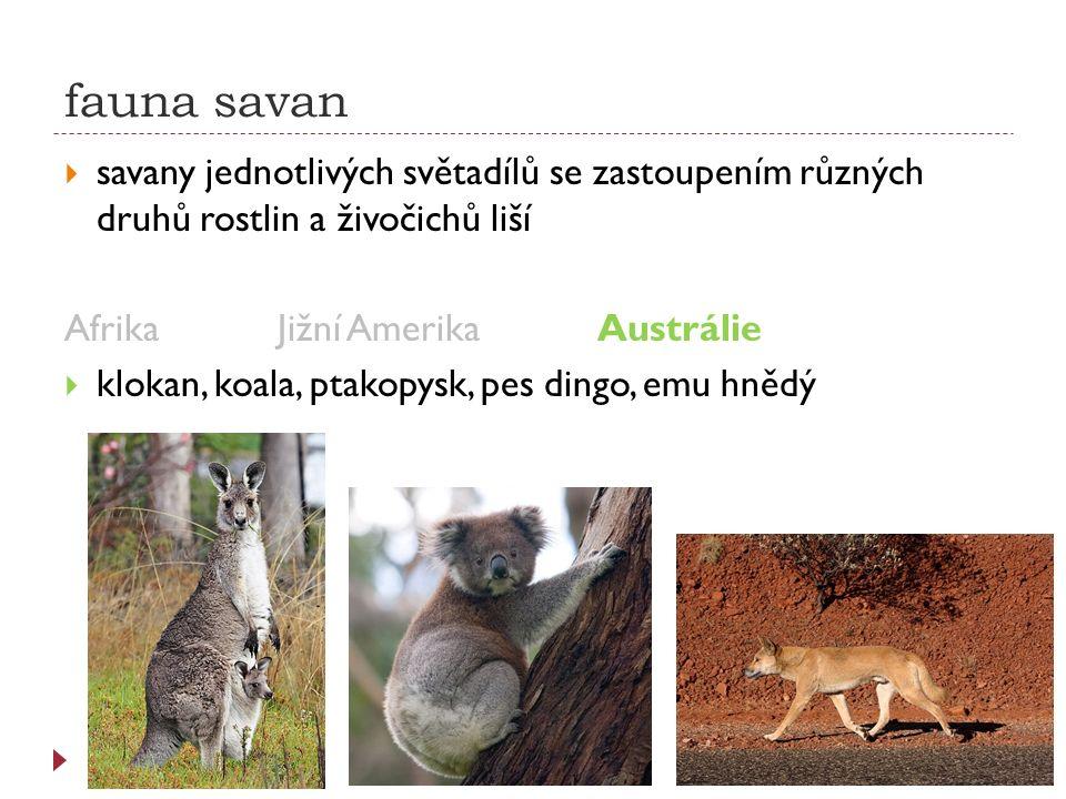 fauna savan  savany jednotlivých světadílů se zastoupením různých druhů rostlin a živočichů liší AfrikaJižní AmerikaAustrálie  klokan, koala, ptakop
