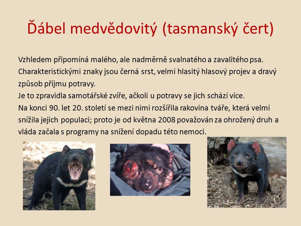 Ďábel medvědovitý (tasmanský čert) Vzhledem připomíná malého, ale nadměrně svalnatého a zavalitého psa.