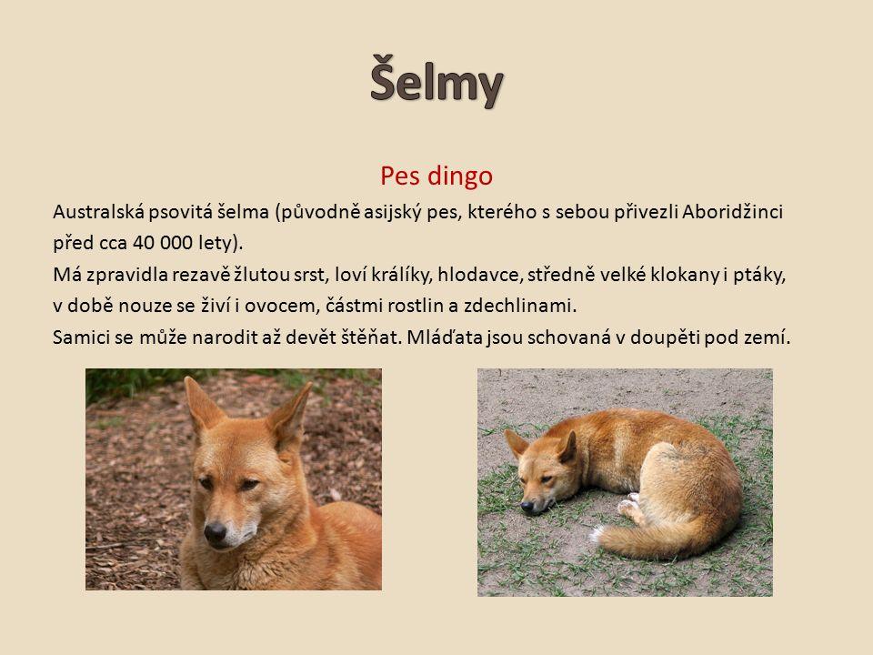 Pes dingo Australská psovitá šelma (původně asijský pes, kterého s sebou přivezli Aboridžinci před cca 40 000 lety).