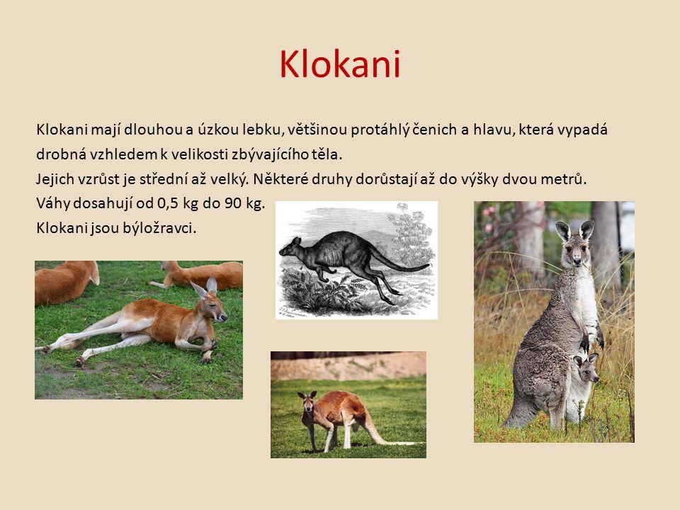 Klokani Klokani mají dlouhou a úzkou lebku, většinou protáhlý čenich a hlavu, která vypadá drobná vzhledem k velikosti zbývajícího těla.
