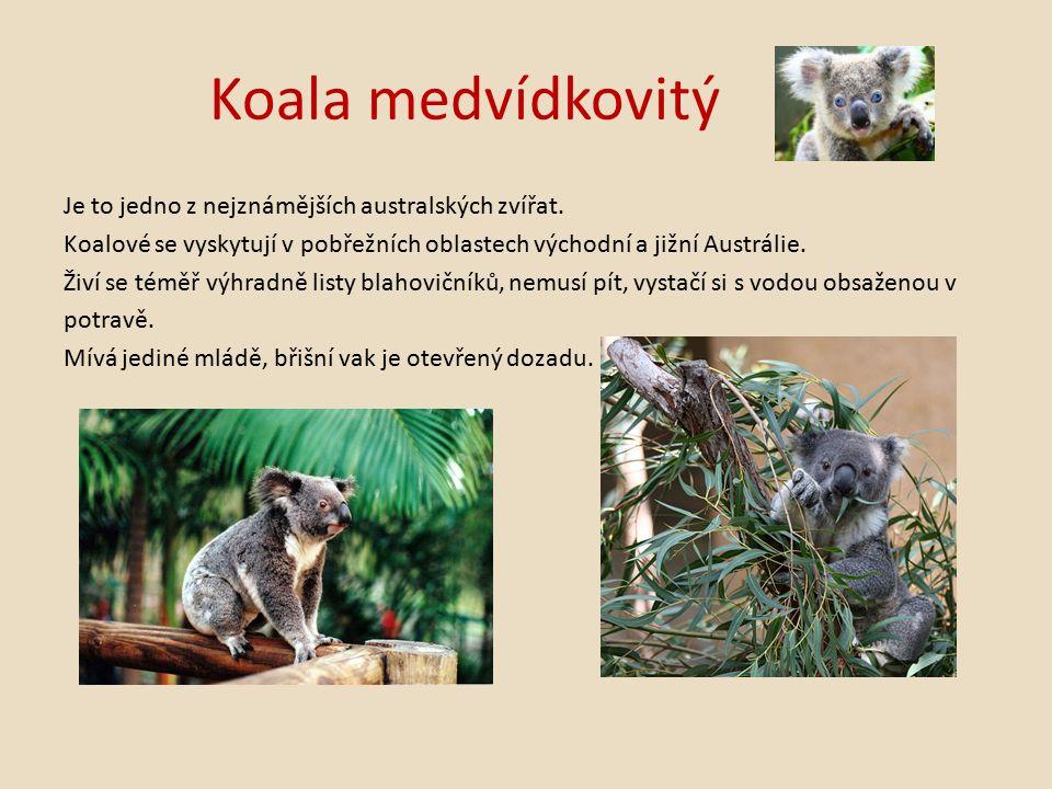 Koala medvídkovitý Je to jedno z nejznámějších australských zvířat.