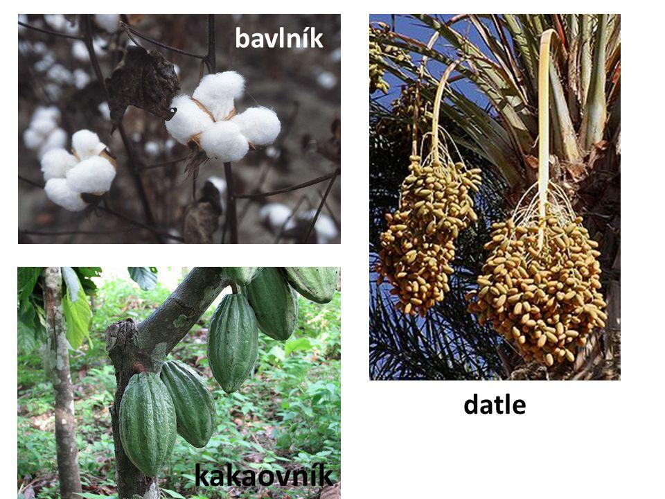 bavlník kakaovník datle