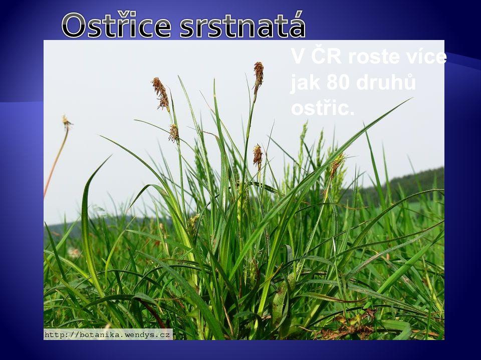 V ČR roste více jak 80 druhů ostřic.