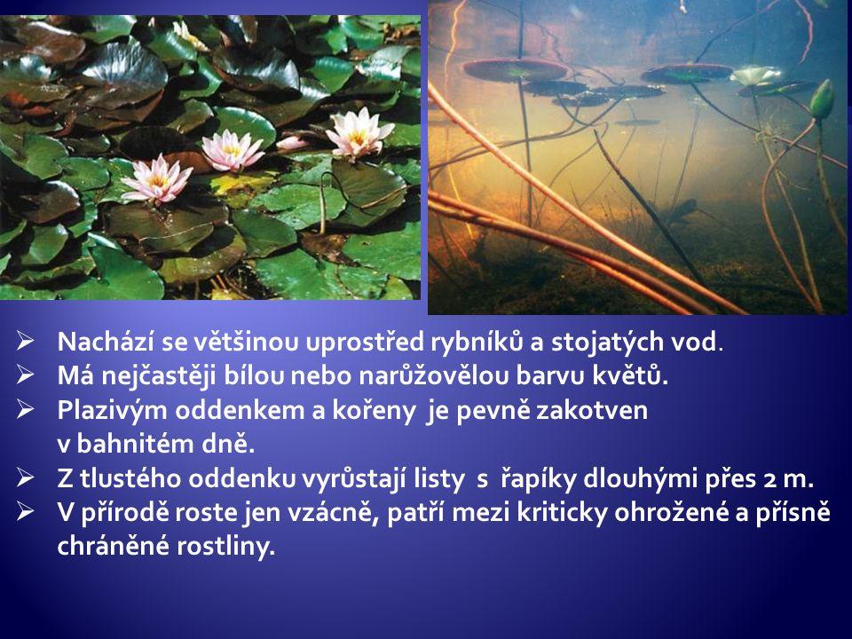  Nachází se většinou uprostřed rybníků a stojatých vod.  Má nejčastěji bílou nebo narůžovělou barvu květů.  Plazivým oddenkem a kořeny je pevně zak