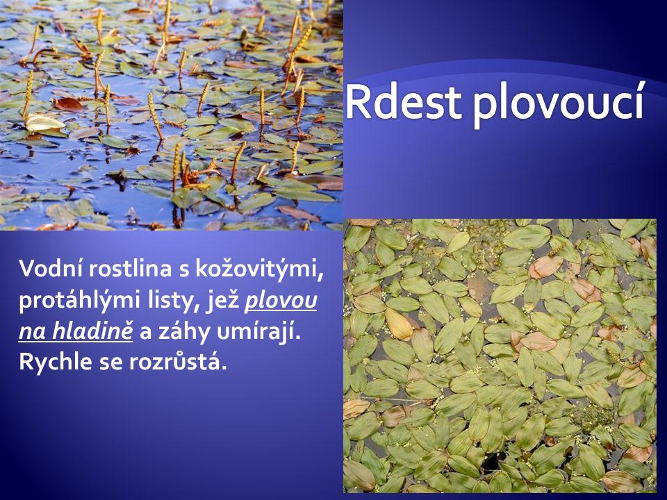 Vodní rostlina s kožovitými, protáhlými listy, jež plovou na hladině a záhy umírají. Rychle se rozrůstá.