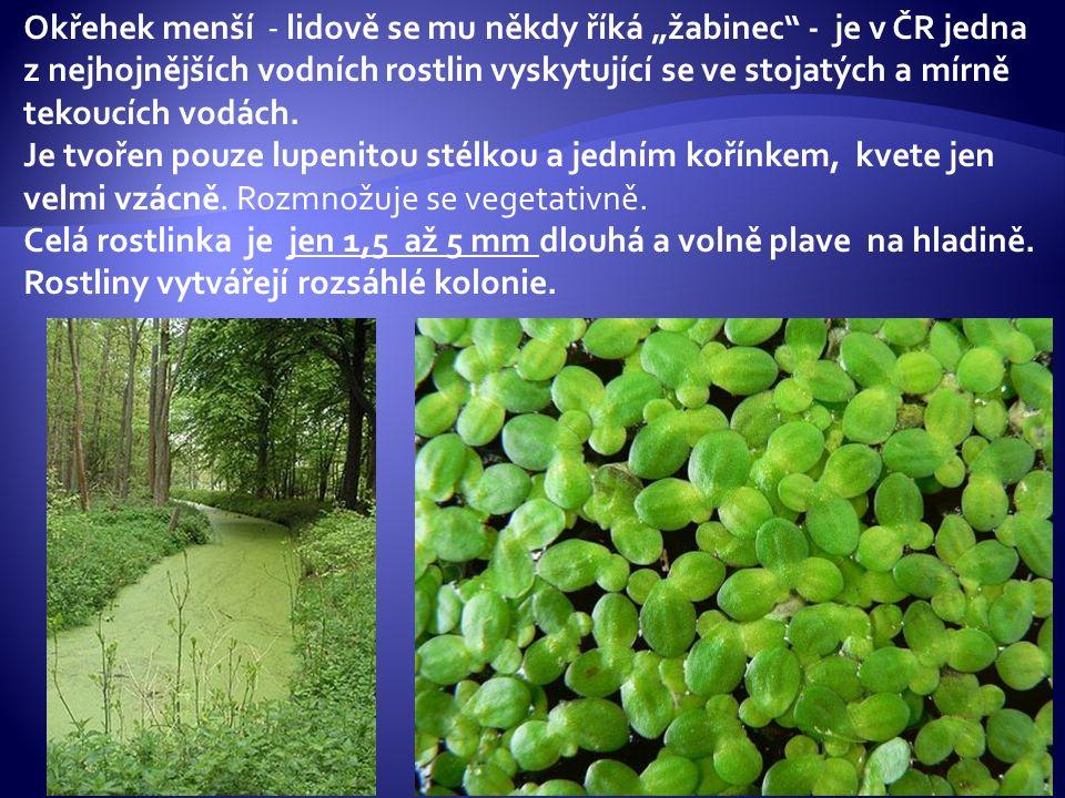 """Okřehek menší - lidově se mu někdy říká """"žabinec"""" - je v ČR jedna z nejhojnějších vodních rostlin vyskytující se ve stojatých a mírně tekoucích vodách"""