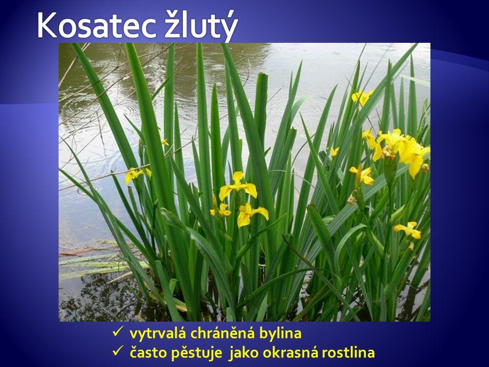 vytrvalá chráněná bylina často pěstuje jako okrasná rostlina