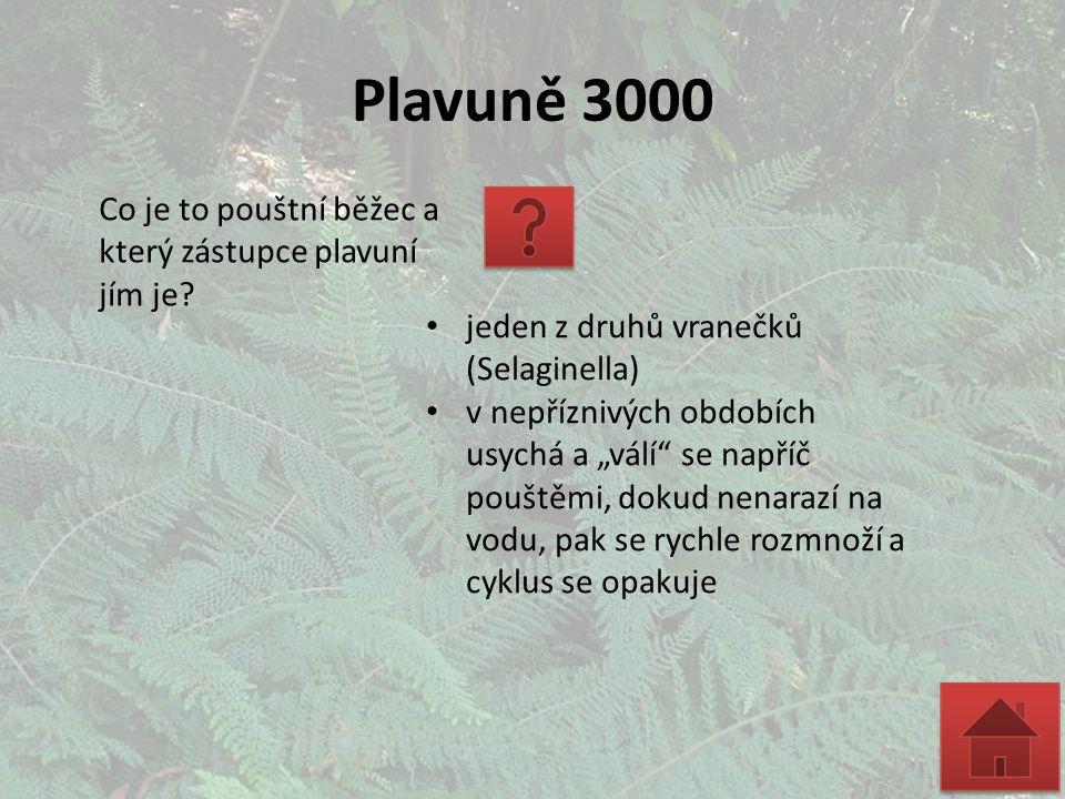 """Plavuně 3000 Co je to pouštní běžec a který zástupce plavuní jím je? jeden z druhů vranečků (Selaginella) v nepříznivých obdobích usychá a """"válí"""" se n"""
