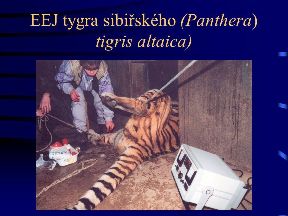EEJ tygra sibiřského (Panthera) tigris altaica)