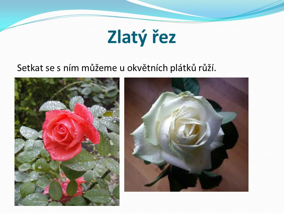 Zlatý řez Setkat se s ním můžeme u okvětních plátků růží.