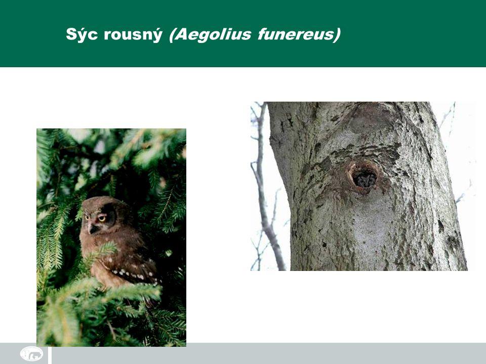 Sýc rousný (Aegolius funereus)