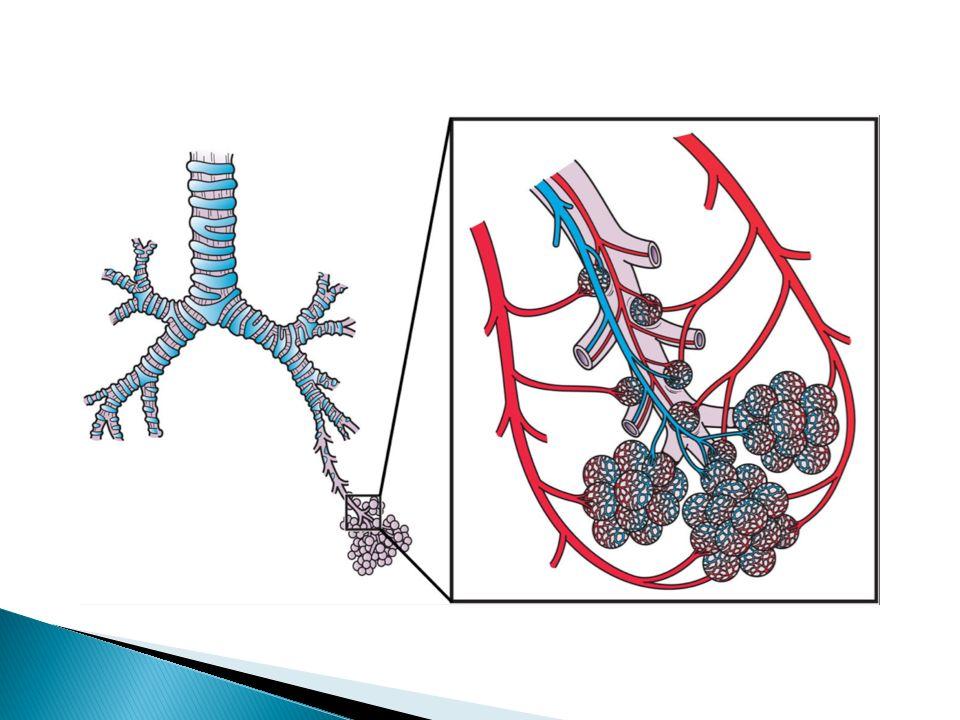  dýchání je řízeno nervovou soustavou  dýchací pohyby zajišťují mezižeberní svaly a bránice  VDECH ◦ děj aktivní ◦ zvětšuje se dutina hrudní ◦ zvyšuje se objem plic ◦ bránice klesá ◦ plíce pojmou 5 – 6 litrů vzduchu  VÝDECH ◦ děj pasivní ◦ bránice stoupá vzhůru