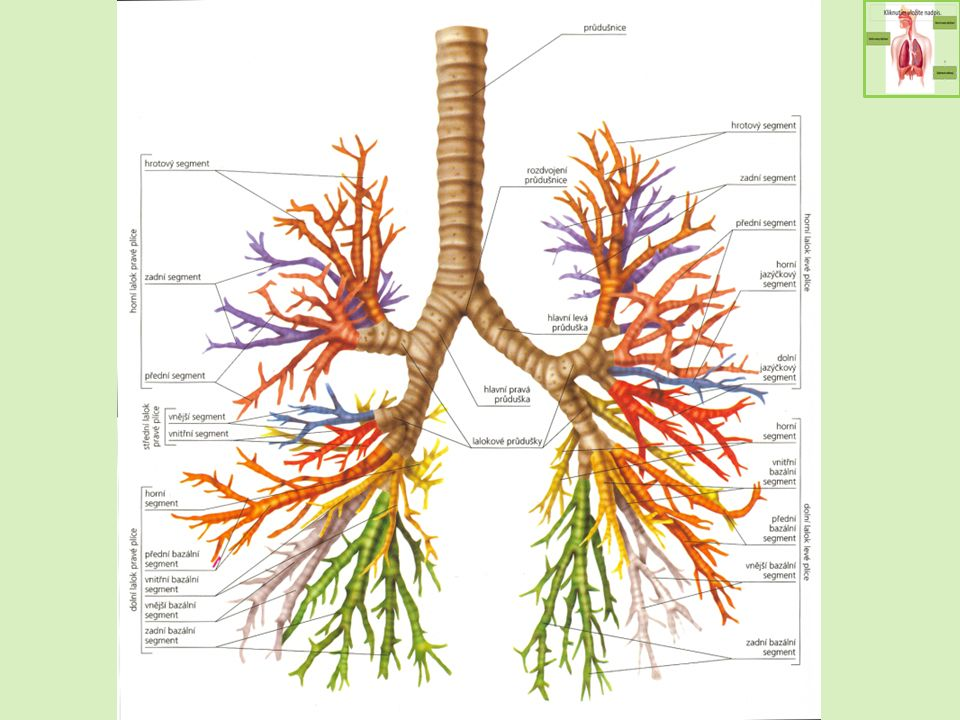 Plicní váček obsahuje plicní sklípky (alveoly) - základní funkční jednotku plic opleteny sítí kapilár přenos plynů přes membránu