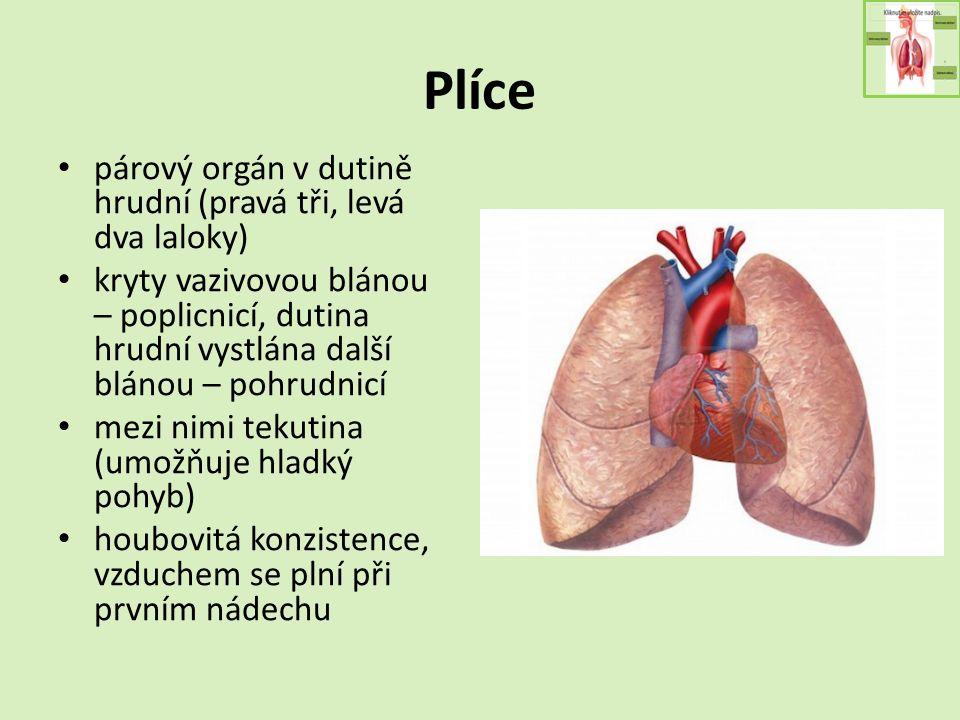 Plíce párový orgán v dutině hrudní (pravá tři, levá dva laloky) kryty vazivovou blánou – poplicnicí, dutina hrudní vystlána další blánou – pohrudnicí mezi nimi tekutina (umožňuje hladký pohyb) houbovitá konzistence, vzduchem se plní při prvním nádechu