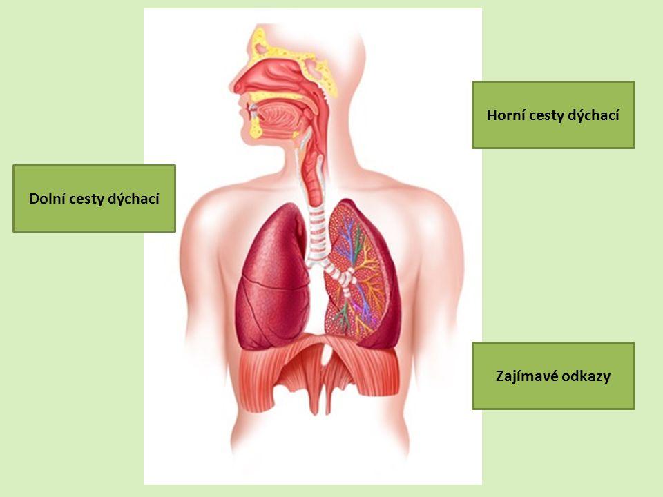 Horní cesty dýchací Dolní cesty dýchací Zajímavé odkazy