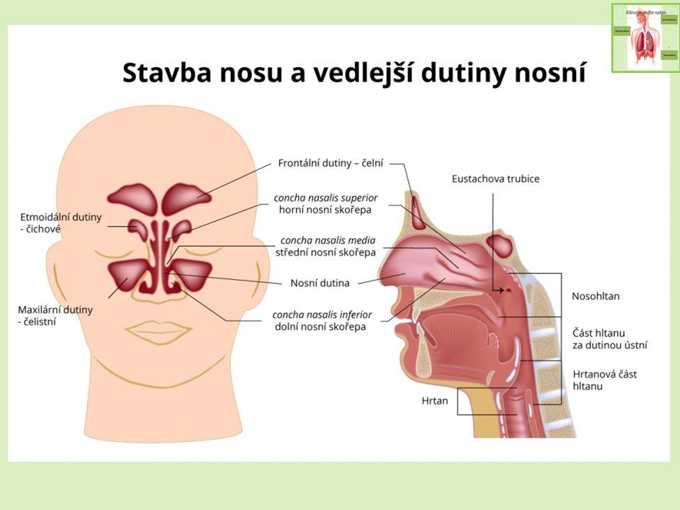 Nosohltan Nosní dutina končí zadními nosními otvory a pokračuje nosohltanem Do něj ústí Eustachova trubice ze středního ucha (vyrovnávání tlaku) V klenbě nosohltanu množství lymfatické tkáně – nosní mandle od ústní části hltanu oddělen patrohltanovým uzávěrem (při polykání a mluvení se zdvihá vzhůru)