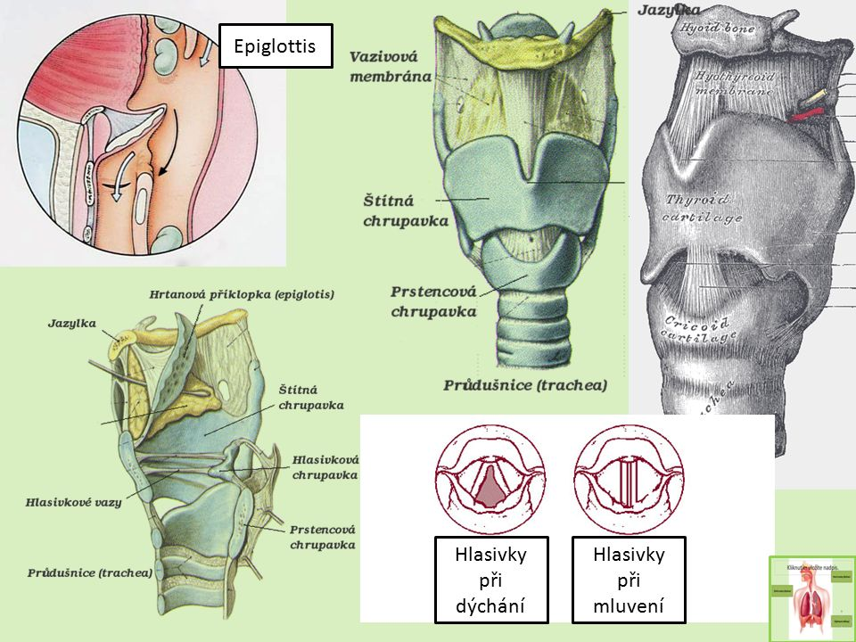 Epiglottis Hlasivky při dýchání Hlasivky při mluvení