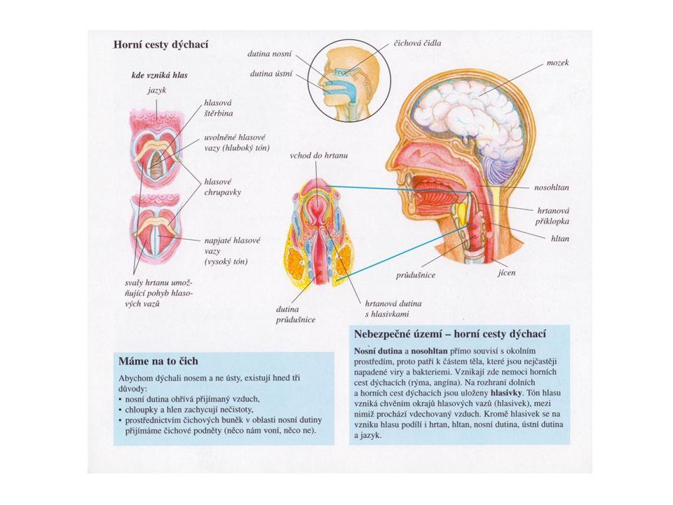 Horní cesty dýchací Řasinkový epitel kryje dýchací část sliznice.