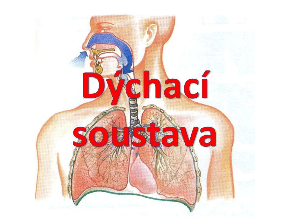 Dýchací soustava orgánová soustava sloužící k dýchání dýchání (respirace) proces výměny plynů, zejména oxidu uhličitého a kyslíku, mezi organismem a jeho vnějším prostředím kyslík je potřeba k buněčnému dýchání pro přeměnu živin na energii Dýchací soustavu tvoří: dýchací cesty plíce horní cesty dýchací dolní cesty dýchací bránice 1 1 2 2 3 3 4 4
