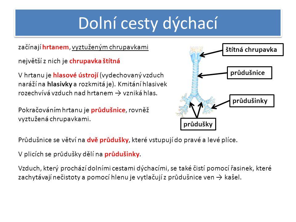 Dolní cesty dýchací začínají hrtanem, vyztuženým chrupavkami největší z nich je chrupavka štítná štítná chrupavka V hrtanu je hlasové ústrojí (vydecho