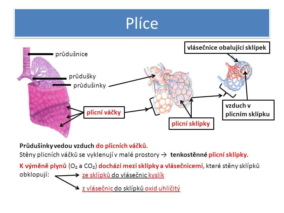 Plíce průdušnice průdušky průdušinky plicní váčky plicní sklípky vlásečnice obalující sklípek vzduch v plicním sklípku Průdušinky vedou vzduch do plic