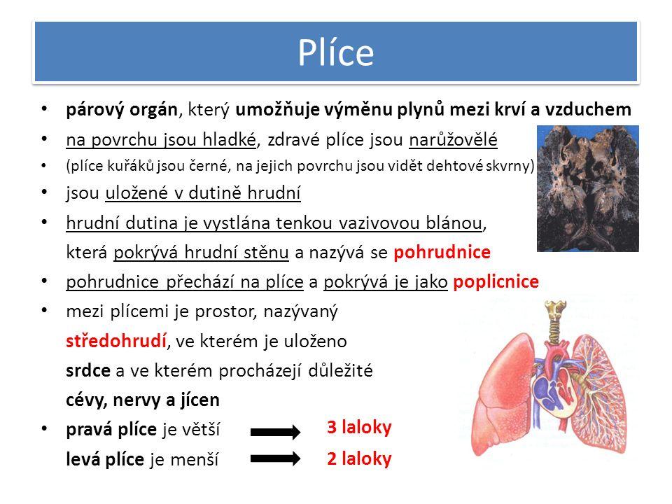 Plíce párový orgán, který umožňuje výměnu plynů mezi krví a vzduchem na povrchu jsou hladké, zdravé plíce jsou narůžovělé (plíce kuřáků jsou černé, na