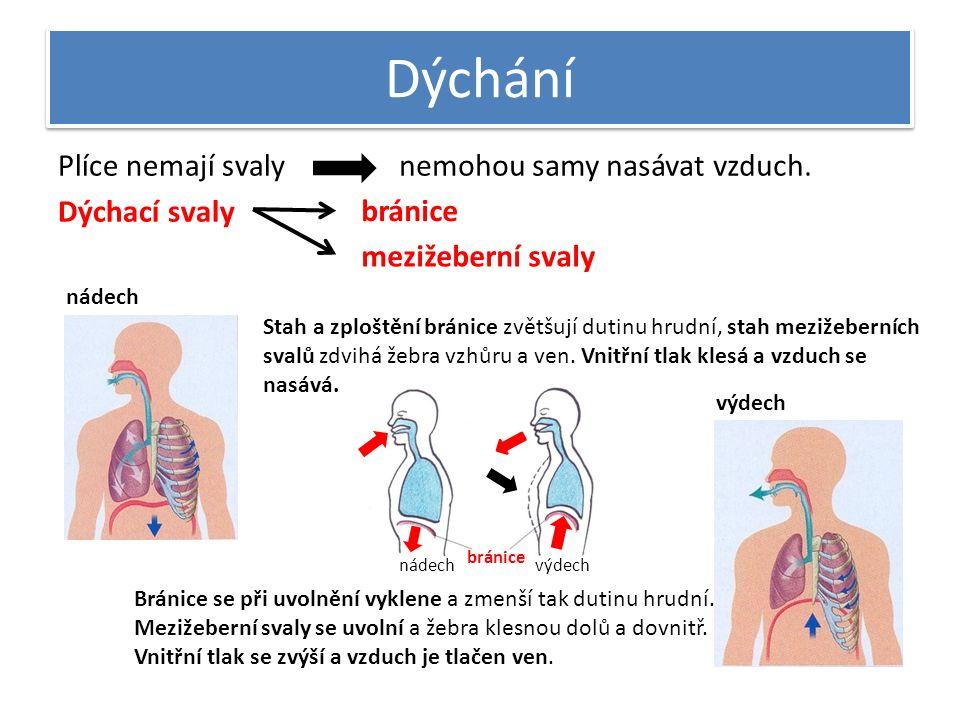 Dýchání Plíce nemají svaly Dýchací svaly nemohou samy nasávat vzduch. bránice mezižeberní svaly nádech Stah a zploštění bránice zvětšují dutinu hrudní