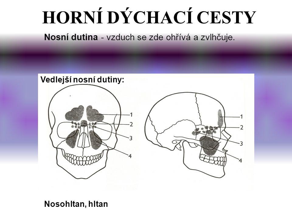 HORNÍ DÝCHACÍ CESTY Nosní dutina - vzduch se zde ohřívá a zvlhčuje. Vedlejší nosní dutiny: Nosohltan, hltan