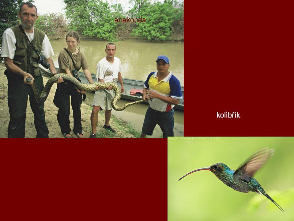 anakonda kolibřík