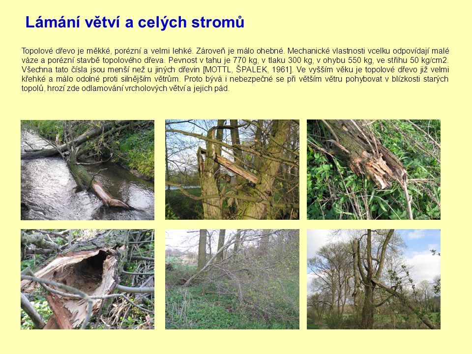 Lámání větví a celých stromů Topolové dřevo je měkké, porézní a velmi lehké.