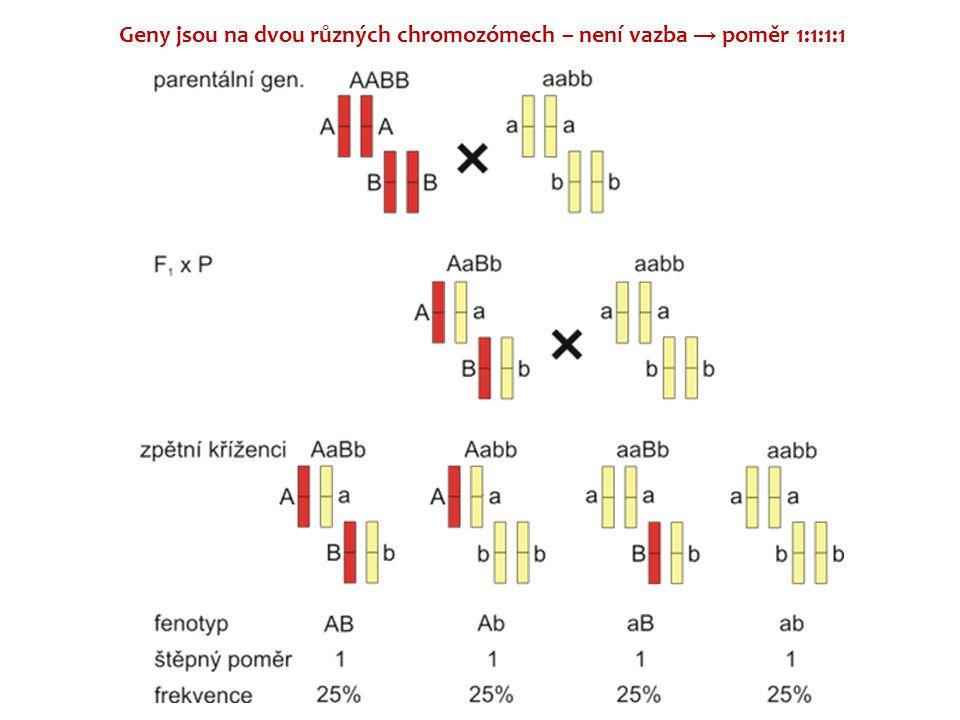 Geny jsou na dvou různých chromozómech – není vazba → poměr 1:1:1:1