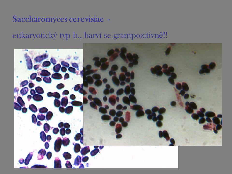 Saccharomyces cerevisiae - eukaryotický typ b., barví se grampozitivn ě !!