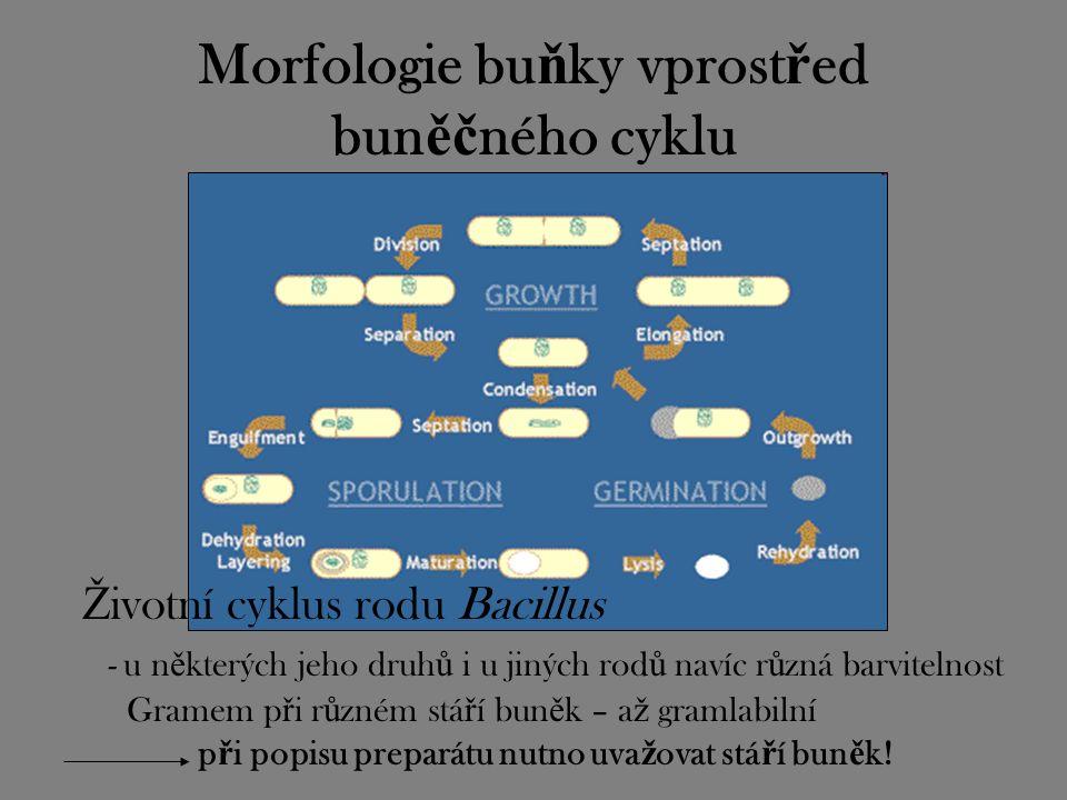 Morfologie bu ň ky vprost ř ed bun ěč ného cyklu Ž ivotní cyklus rodu Bacillus - u n ě kterých jeho druh ů i u jiných rod ů navíc r ů zná barvitelnost