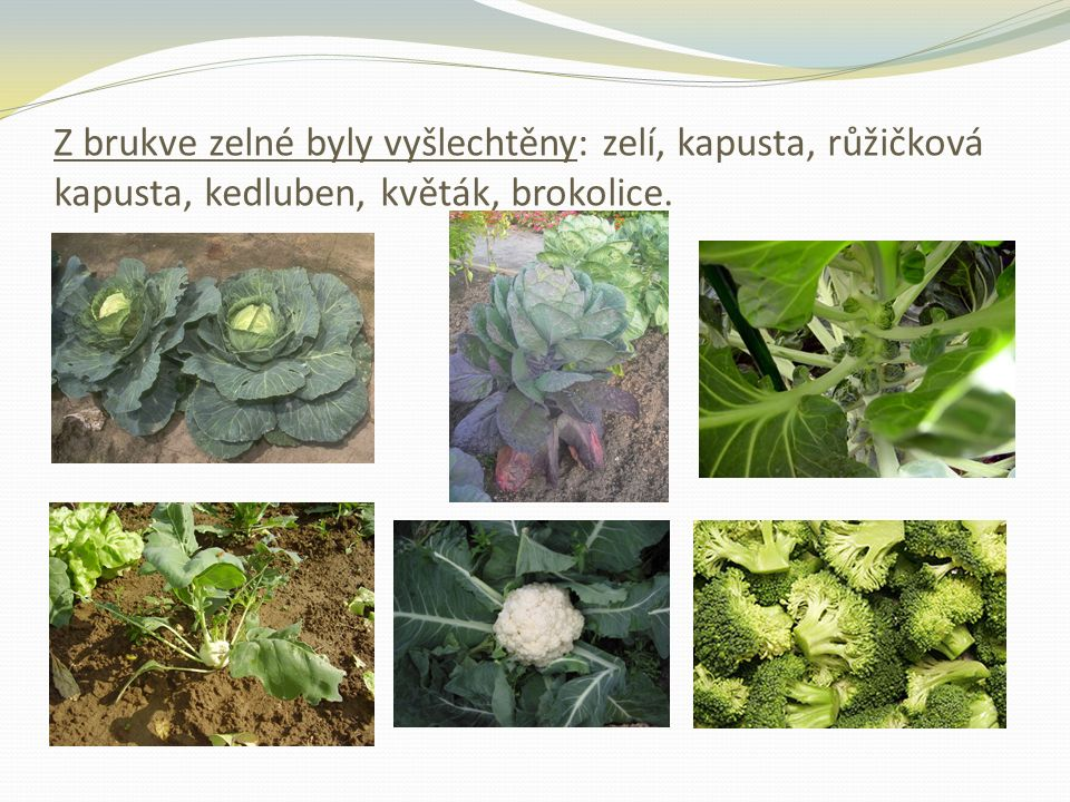 Z brukve zelné byly vyšlechtěny: zelí, kapusta, růžičková kapusta, kedluben, květák, brokolice.