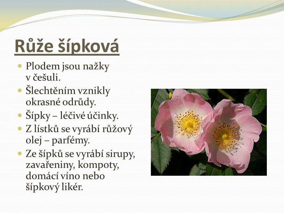 Růže šípková Plodem jsou nažky v češuli.Šlechtěním vznikly okrasné odrůdy.