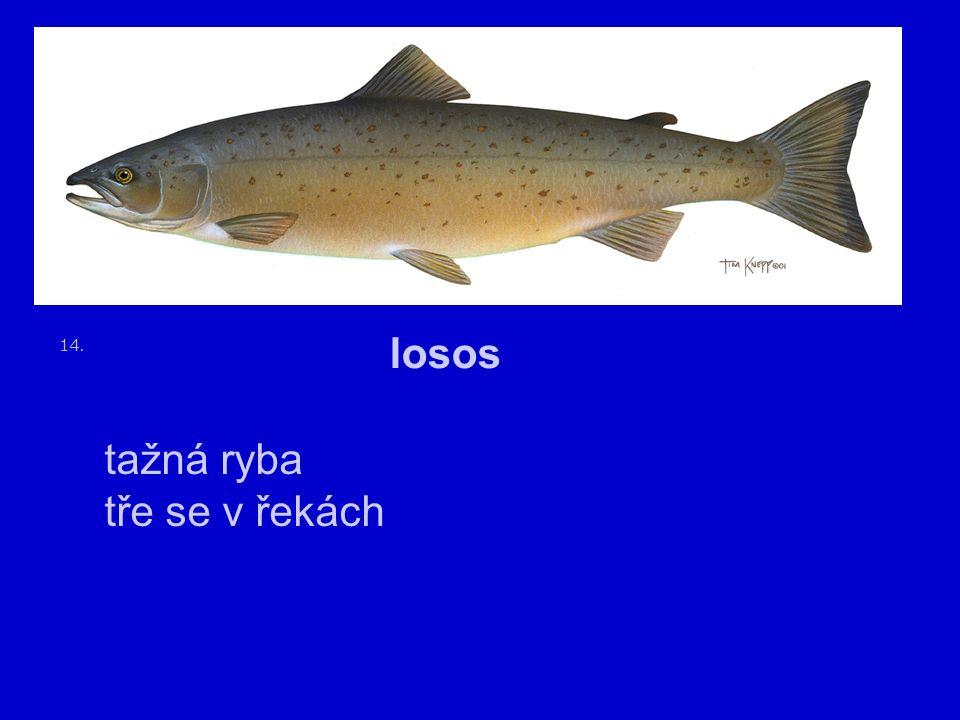 14. losos tažná ryba tře se v řekách