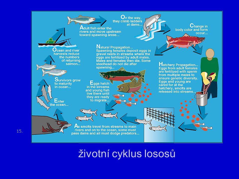 15. životní cyklus lososů