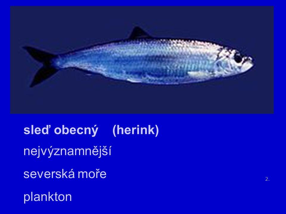 2. sleď obecný (herink) nejvýznamnější severská moře plankton